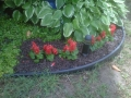 Red Salvia & Hosta