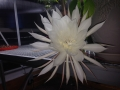 Queen Of The Night Full Bloom 1:30 a.m.