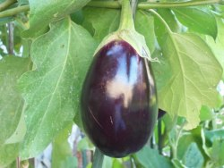Midnight Beauty Eggplant